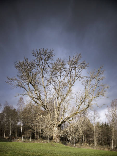 Giant Trees of Scania